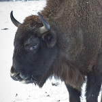 """Bisons in """"Vanatori-Neamt"""" Nature Park from Neamt County"""