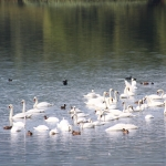 Fauna on lakes in Neamt