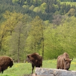 The Land of the Bison in Neamț County – internationally renowned touristic destination