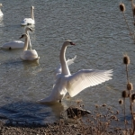 Swans dancing on the lakes in Neamt County
