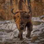Bison Safari. Walking the trails of the bisons in Vânători Neamţ Natural Park – a world-renowned touristic destination