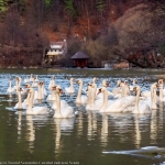 Graceful swans gliding on the lakes in Neamţ County