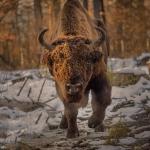 Bisons in Vânători-Neamţ Natural Park