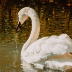 Swans in Neamt County
