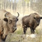 Bison Safari in Neamț. Bookings now available on Booktes
