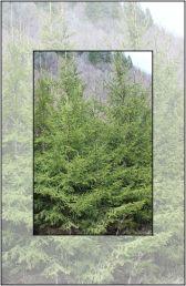 Yew Reserve – Pangarati