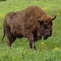 touristic-route-1-aurochs-reservation-neamt