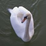 swans-piatra-neamt