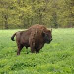 Dragoş Vodă European Bison Nature Reserve