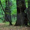 The Oak reservation Dumbrava