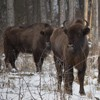 Bisons in Neamt County