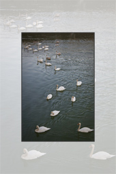 The Swans from Piatra Neamt